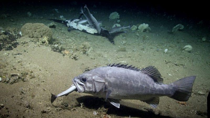 Ερευνητές κατέγραψαν τεράστιο ροφό να καταπίνει ολόκληρο έναν μικρό καρχαρία