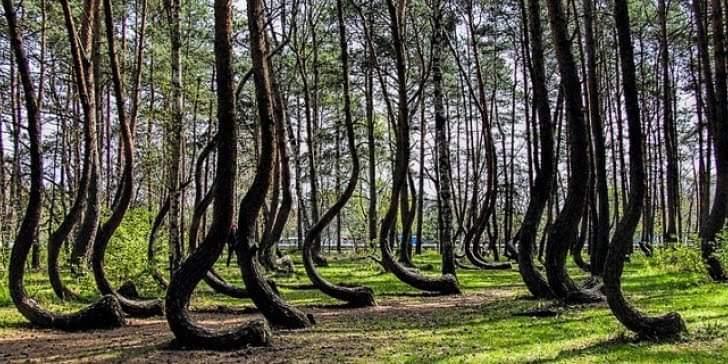 Η ιστορία του δάσους με τους καμπυλωτούς κορμούς