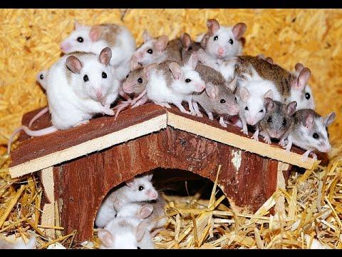 Επιδρομές ποντικών στην Ωκεανία
