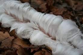 Hair ice ή αλλιώς μάλλινος πάγος στα ελληνικά